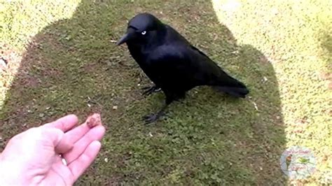 Cute Close Up of Australian Raven Feeding from My Hand