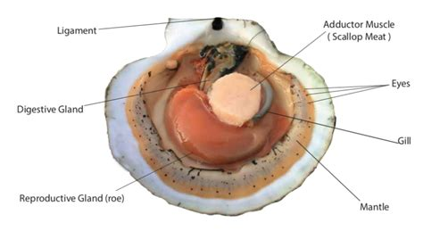 Scallop Anatomy - Eastern Fisheries Buyers