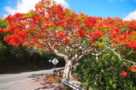 Le Flamboyant, So Much More Than a Plain Old Tree