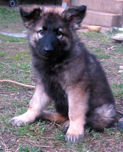Is The Shiloh Shepherd The Best And Healthiest German