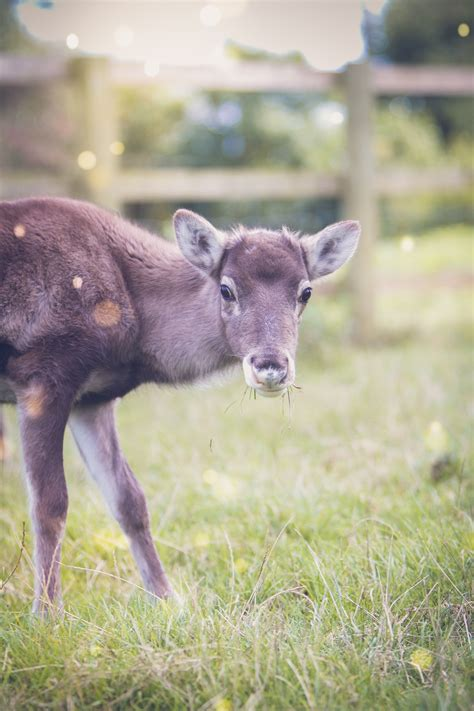 Cotley Farm's baby reindeer named | The Exeter Daily