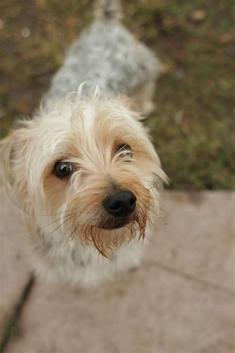 Unnamed Yorkshire Terrier mix