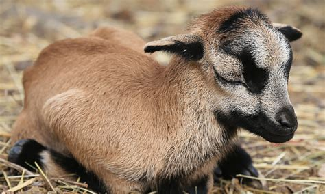 Cameroon lamb, one of world's rarest breeds of sheep, born